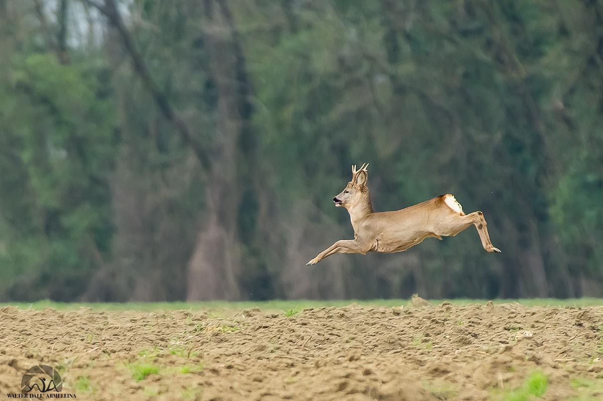 Capriolo in salto Capriolo-in-salto-1200