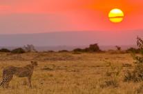 Mamma ghepardo al tramonto