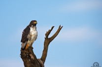 Augur buzzard (Lake Nakuru – Kenya)