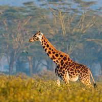 Giraffa ambientata (e in dolce attesa)