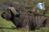 Il bufalo e l'airone guardabuoi