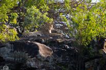 Leopardo a Nakuru