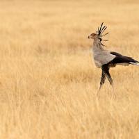 Serpentary bird