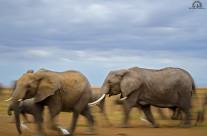 La corsa degli elefanti