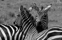 Abbraccio zebrato