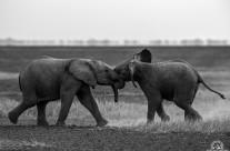 Piccoli di elefante in gioco