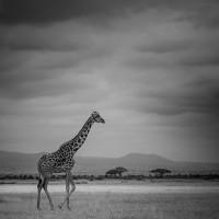 Giraffa BW