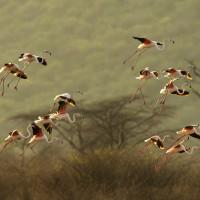 la danza dei flamingo