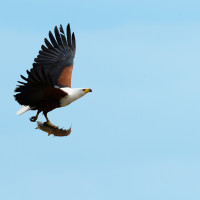 Fish Eagle con preda