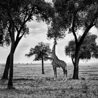 Grafismi con giraffa